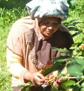 Perempuan Gayo tengah petik kopi di Bener Meriah (Foto Adji K)