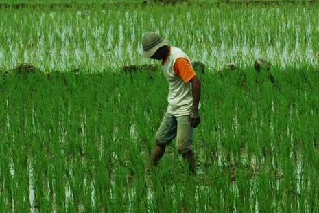 500 Hektare Tanaman Padi di Pidie Terancam Mati