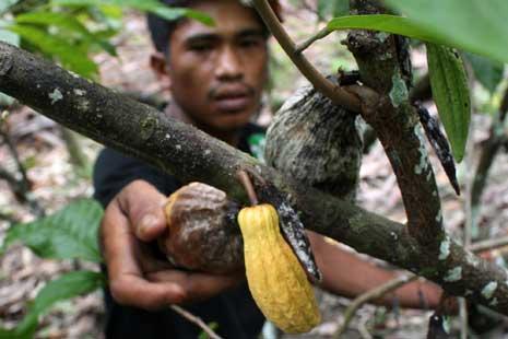 Pidie Jaya Rehabilitasi 3.000 Hektar Tanaman Kakao