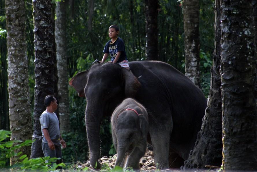Gajah Aceh yang Agung