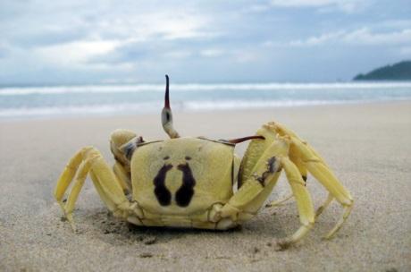 Kepiting di pasir putih Pantai Balu (Foto M Iqbal)