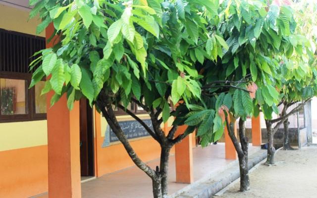 Kakao nampak indah di depan SD Negeri Teluk Nibong, Pulau Banyak, Aceh Singkil (Foto Tarmizi Age)