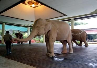Foto: Gajah Pink dari Myanmar