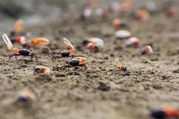 Kepiting Uca (fiddler crab) tetap menjaga keseimbangan mangrove (Foto M Iqbal/SeputarAceh.com)