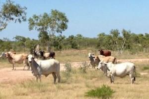 Tempat sapi Willeroo di Australia (radioaustralia.net.au)